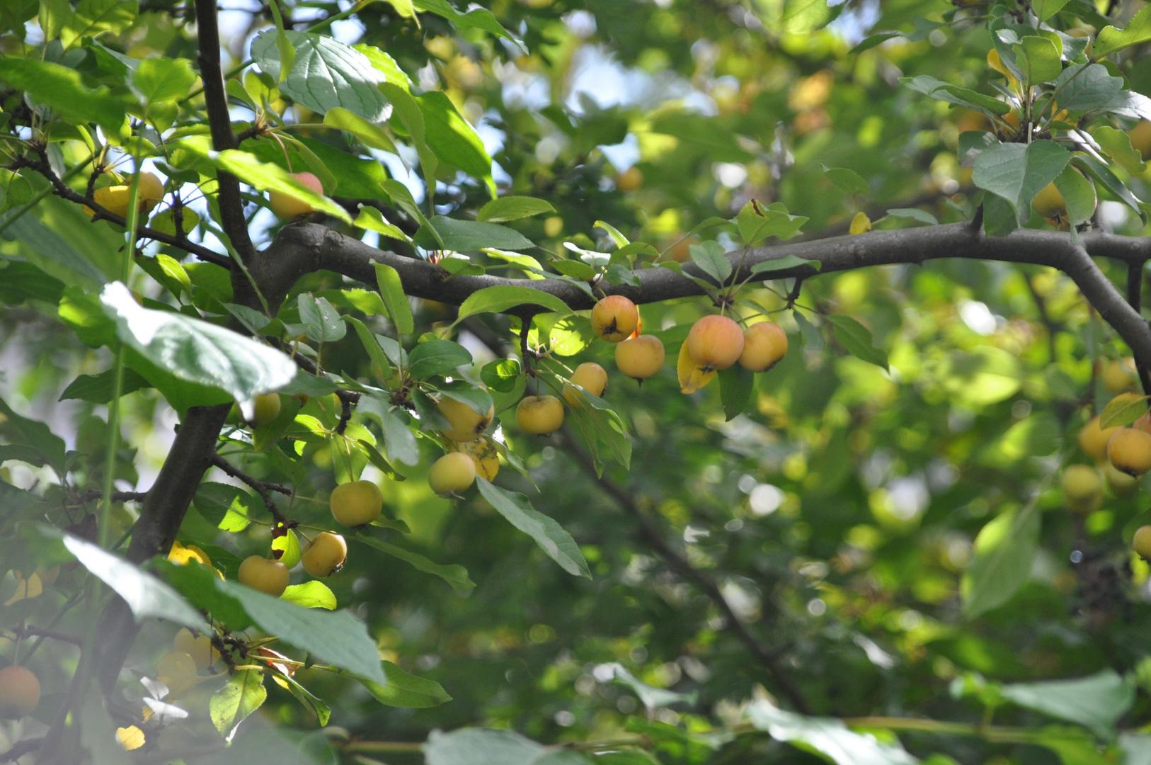 Paradise Apple