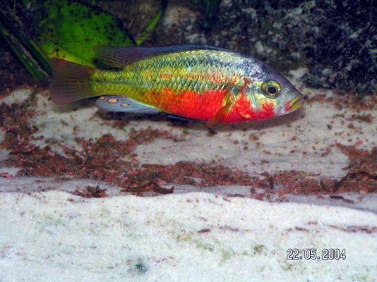 "Paralabidochromis sp. ""Rock Kribensis"" CH22"