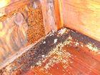 Parasiten und Überwinterungsgäste in einem Hornissennest