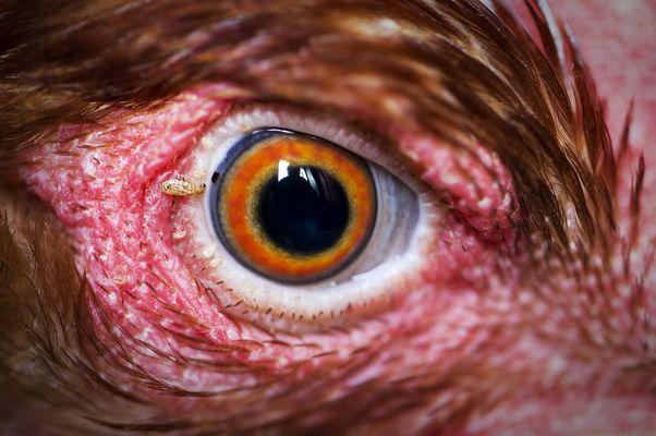 Parásito mirando mi reflejo en el ojo de una gallina