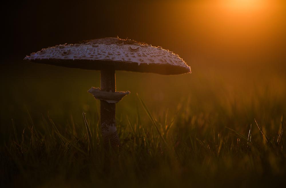 Parasol im Abendlicht