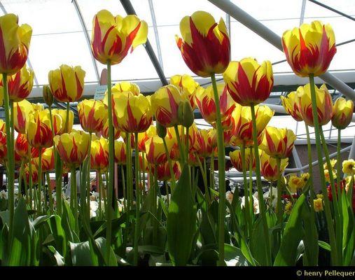 Parc aux Tulipes de KEUKENHOF en Hollande