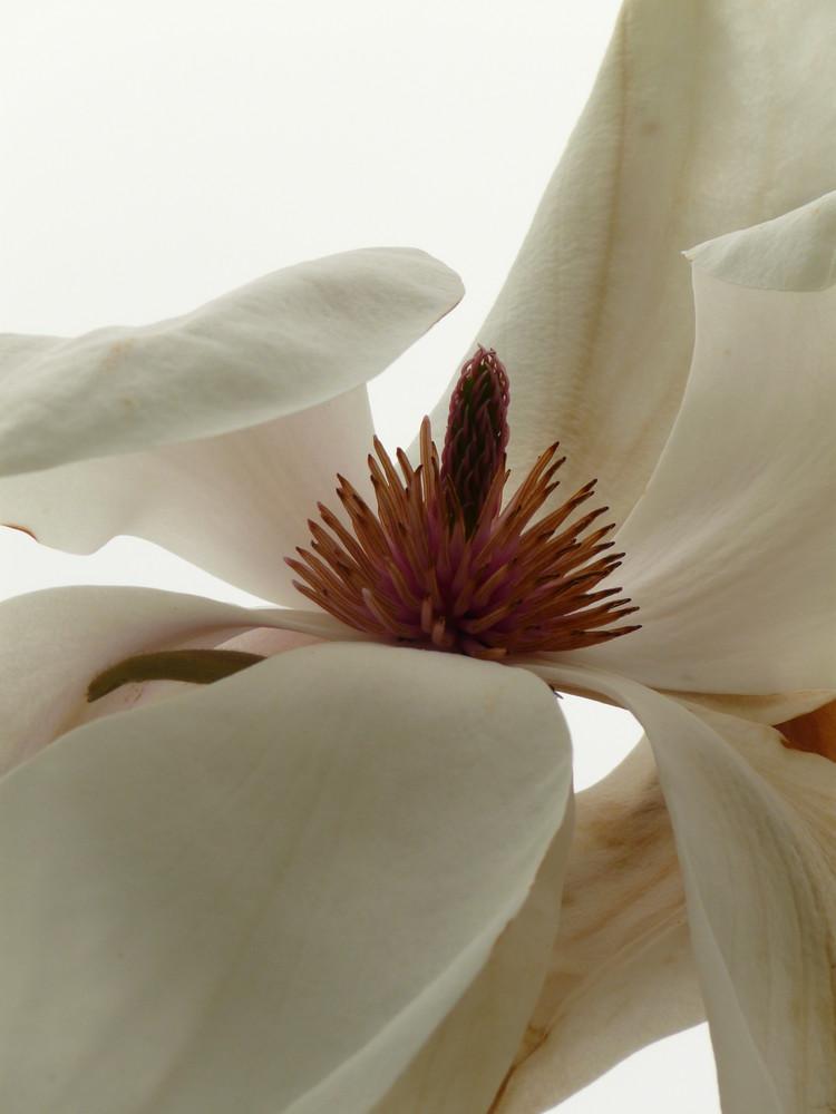 Parc des Moutiers - Magnolia (diamètre de 30 cm)
