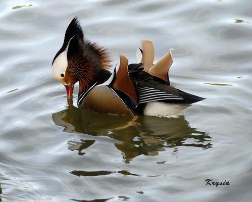 parc phénix canard mandarin