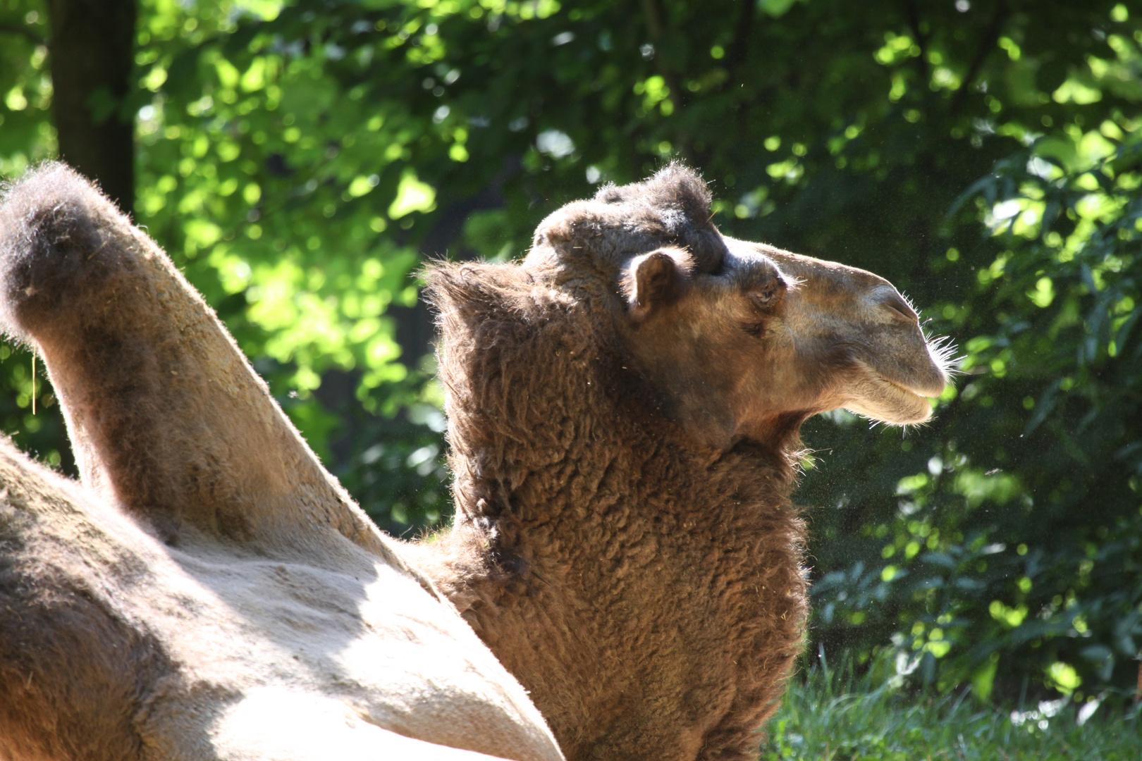 Parc Zoologique & Botanique Mulhouse Alsace, Baktrisches Kamel