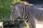 Parc Zoologique & Botanique Mulhouse Alsace, Grevyzebras