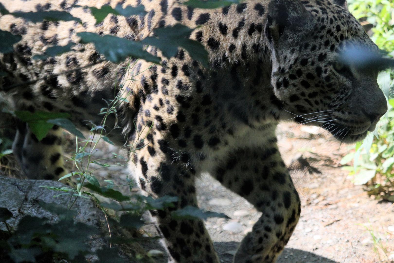Parc Zoologique & Botanique Mulhouse Alsace, Leopard im Unterholz