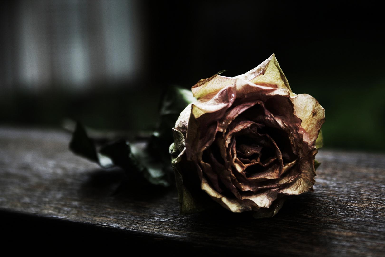 parched rose