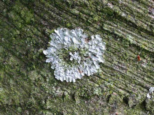 Parmelia subrudecta