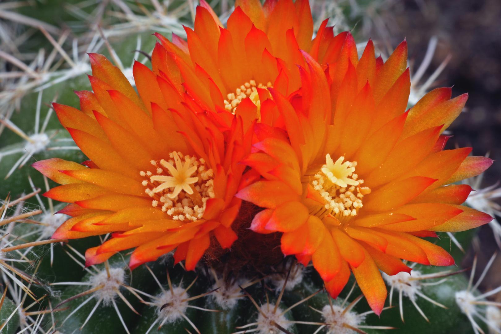 Parodien Blüten