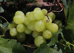 Parral mit Weintrauben aus Mendoza /Argentinien