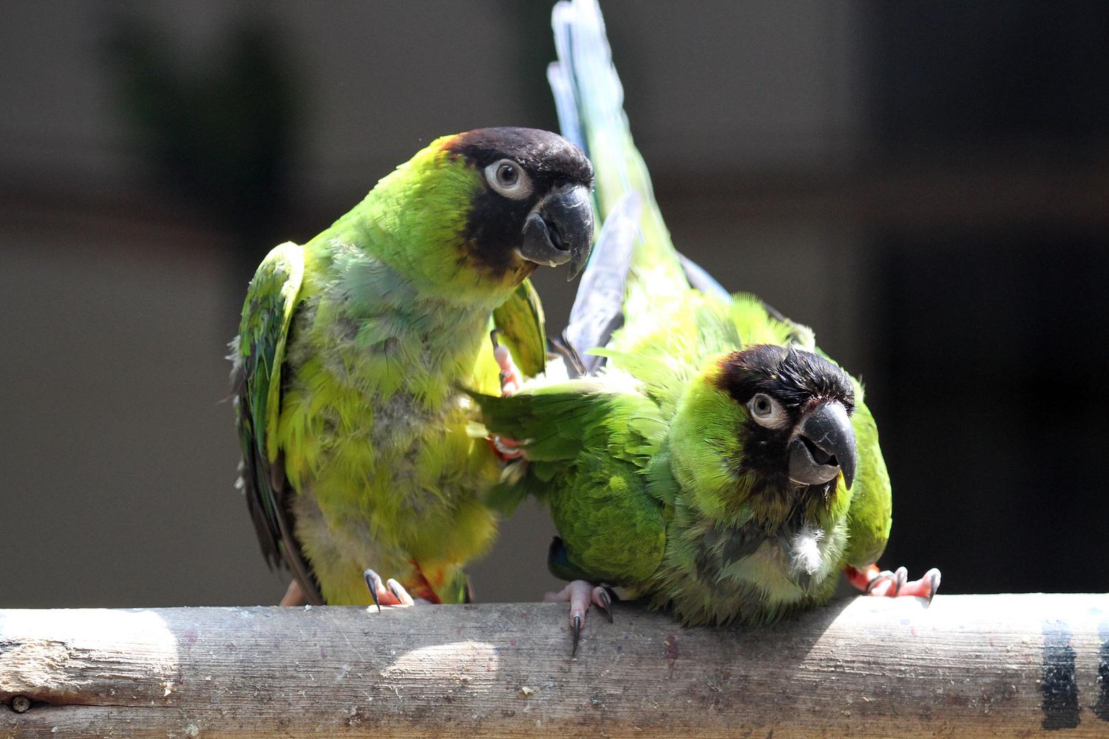 Parrots amusement