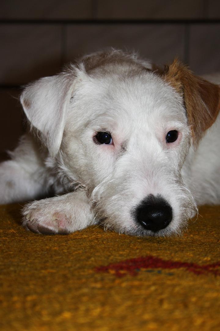 "Parson Russel Terrier ""Anton"""