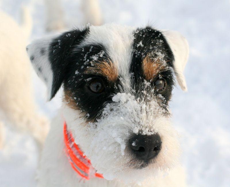 Parson Russell Terrier Bella