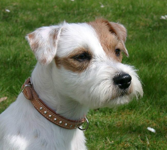 Parson Russell Terrier Billy
