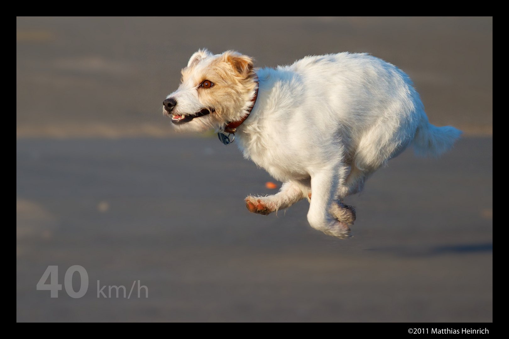 Parson Russell Terrier (Full Speed)