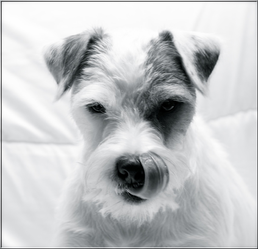 Parson Russell Terrier s/w