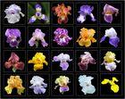 parterre d'iris