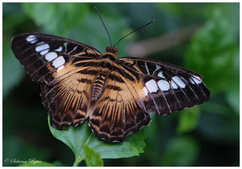 Parthenos sylvia brown