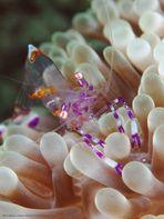 Partner Shrimp (Periclimenes cf aesopius)