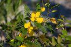Partridge-Pea (Chamaechrista fasciculata)