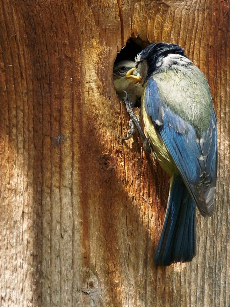 Parus caeruleus - füttern