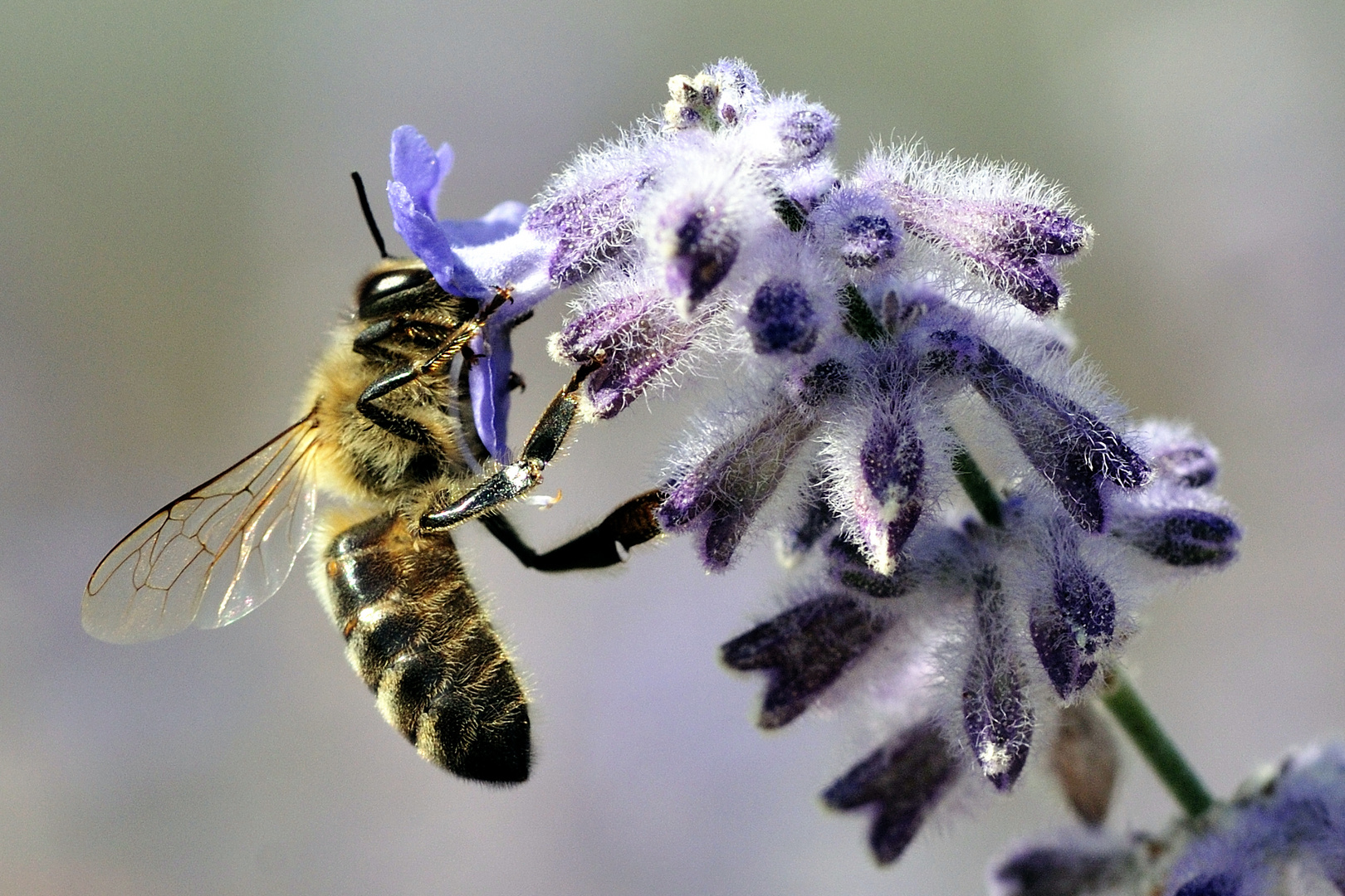pas de bon miel sans une bonne butineuse !!!
