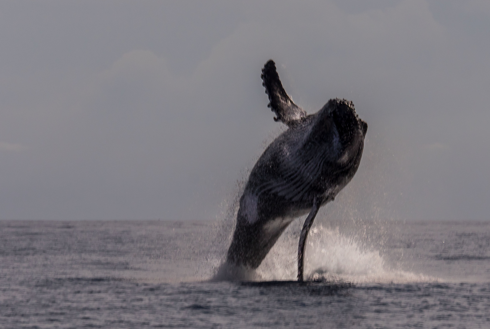 Pas de danse... baleine à bosses, Réunion
