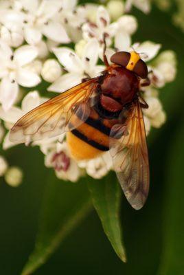 Pas une abeille !!!