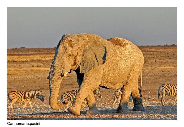 Passeggiata al tramonto (Parco Etosha - Namibia)