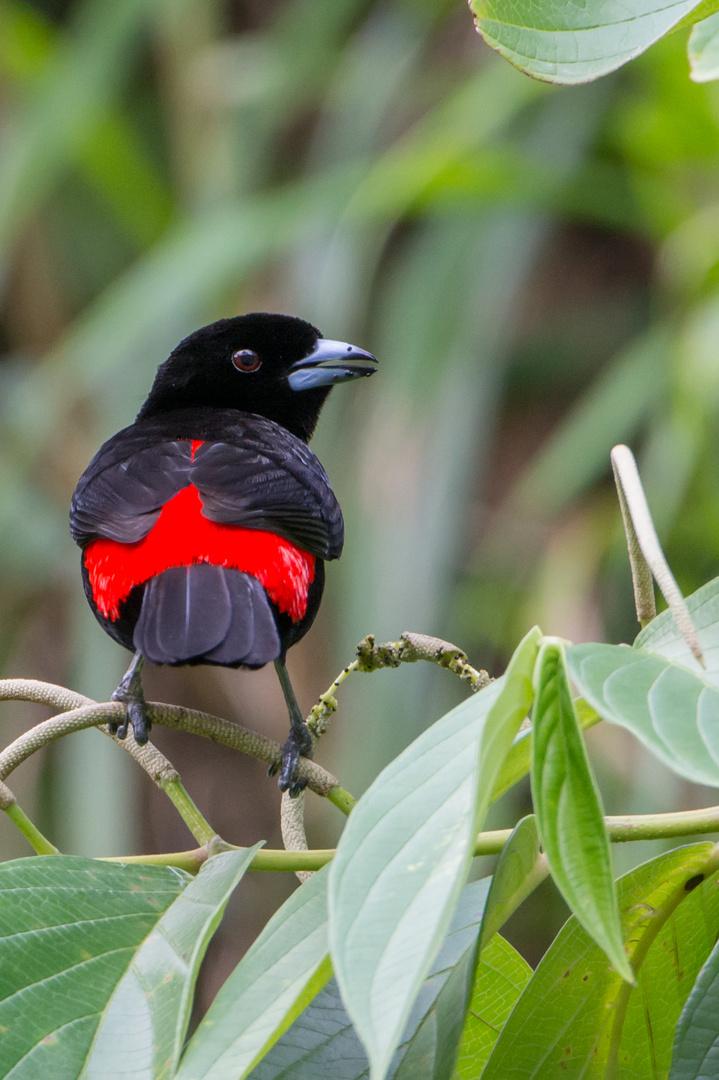 Passerinitangare (Ramphocelus passerinii) in der Nähe des Vulkans Arenal, Costa Rica