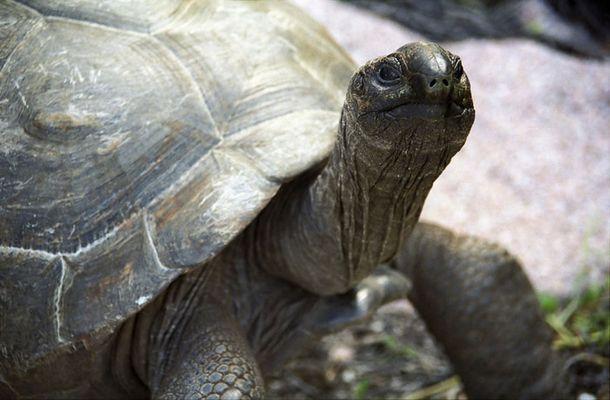 Paßfoto einer freilaufende Riesenschildkröte auf La Digue