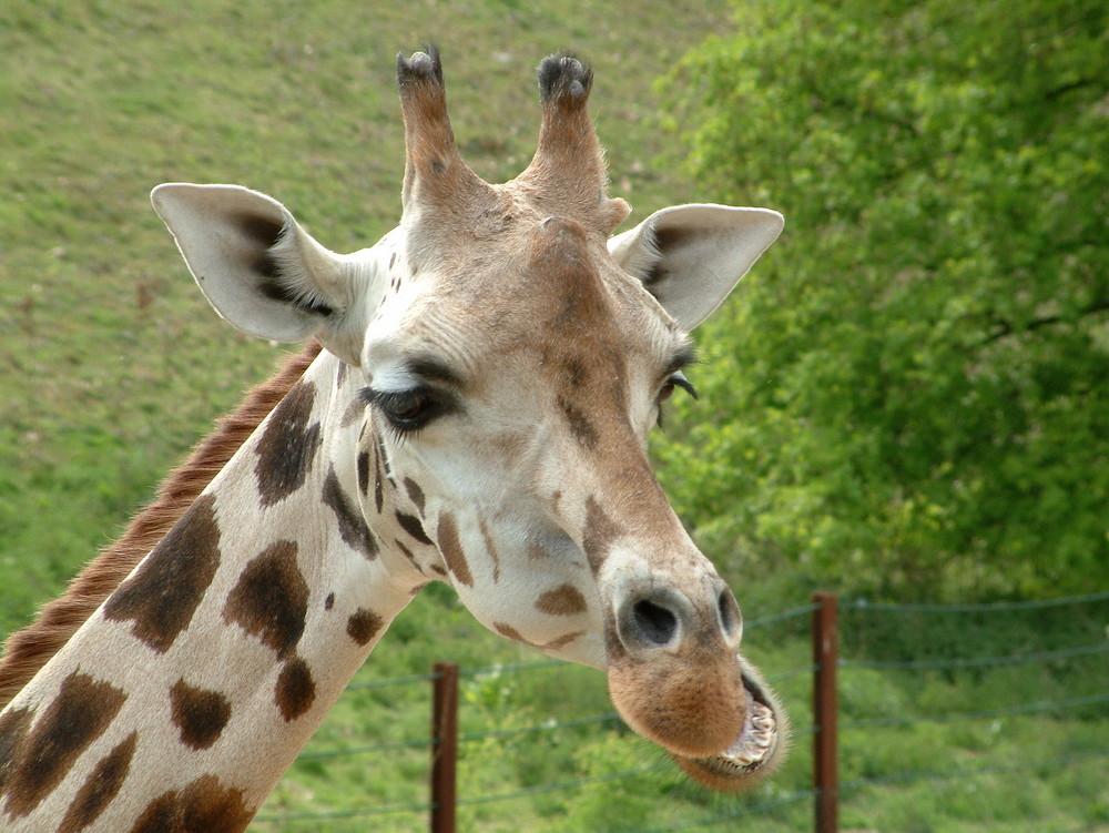 Passfoto Giraffe