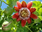 Passiflora alata /  Maracuja Blüte