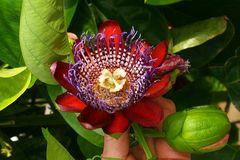 Passiflora alata, Passionsblume