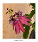 Passiflora amethyst....