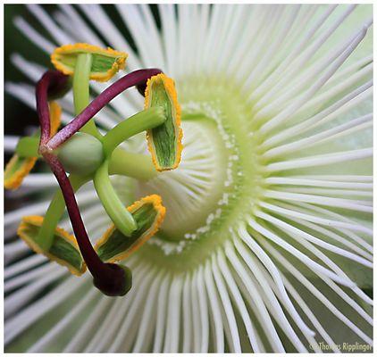 Passiflora Avalance