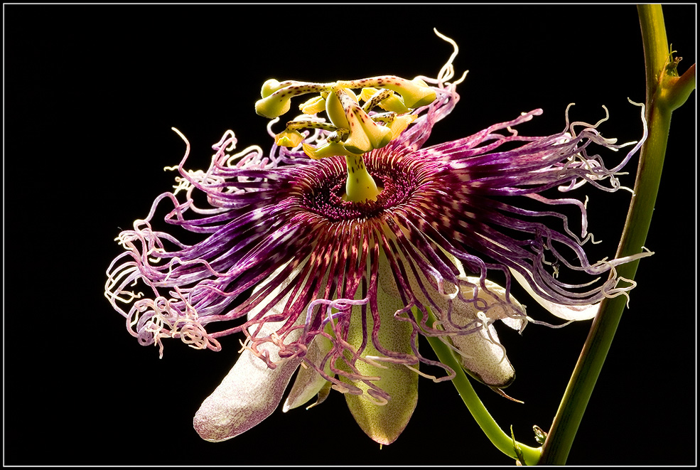Passiflora Byron Beauty