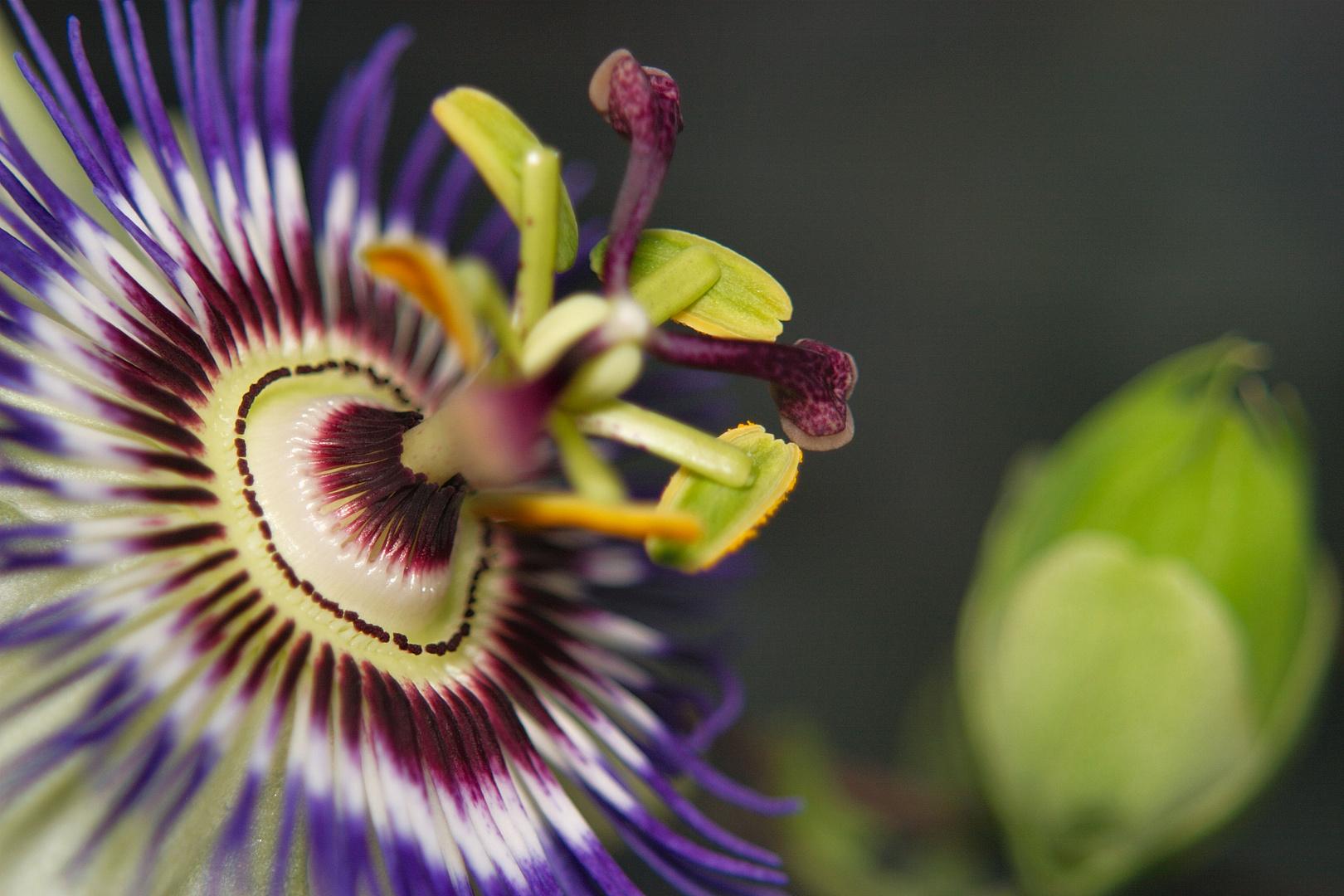Passiflora Caerulea - Blüte und Knospe