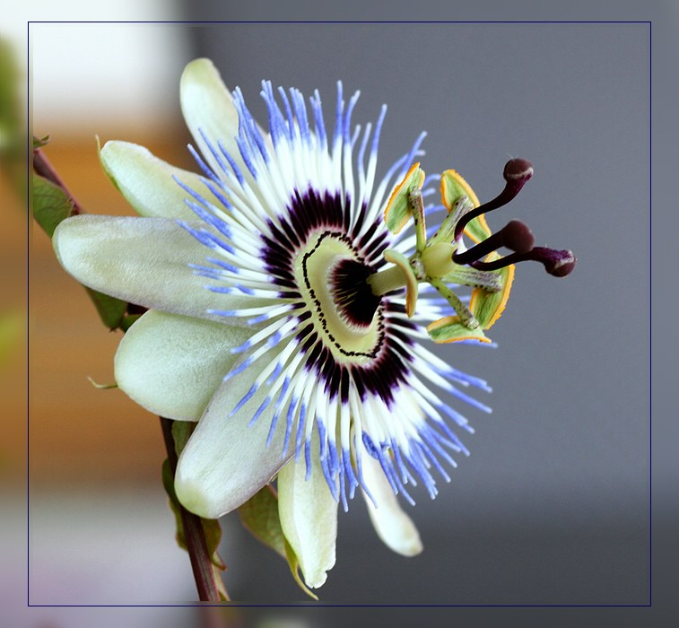 Passiflora caerulea...
