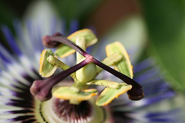 Passiflora ganz nah