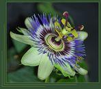 Passiflora incarnata L.