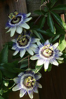 Passiflora mit 4 Blüten