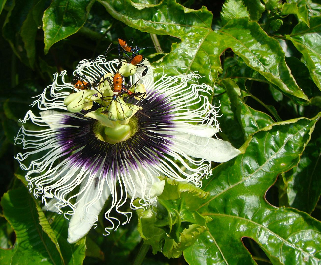 Passiflora mit Besucher