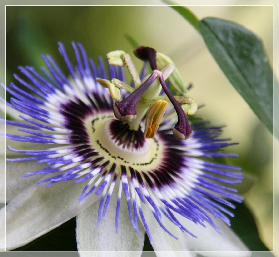 Passiflora - Passionsblume