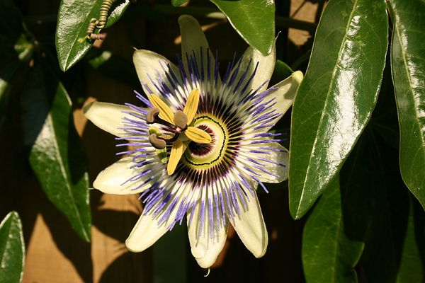 Passiflora Passionsblume