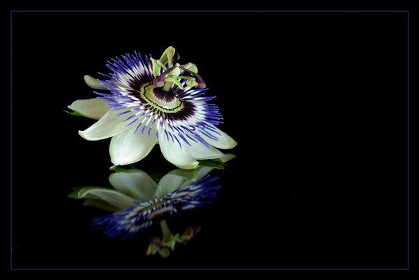 ... passiflore bleu ... (2)