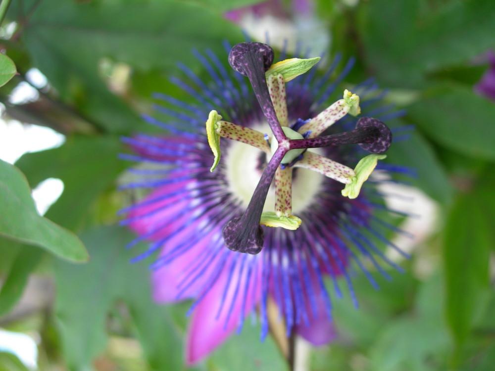 PaSSionsblümchen