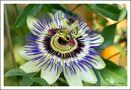 Passionsblume by U. Hennig