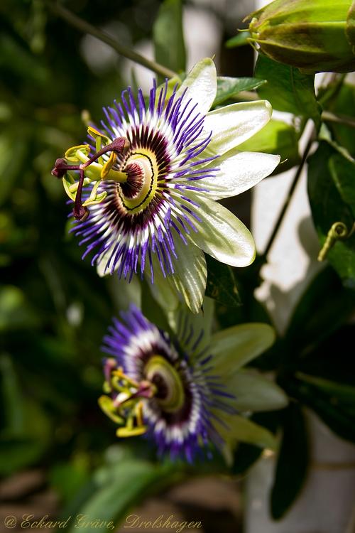 Passionsblume -bald blühen sie wieder-